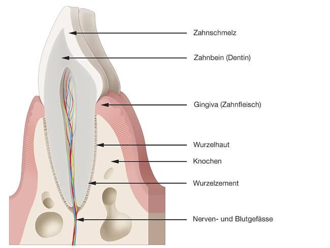 Parodontologie - Gesundes Zahnfleisch